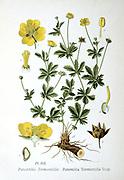 Tormentil (Potentilla tormentilla: P. Erecta L.) a slender perrenial. Roots were boiled in milk to treat diarrhoea in children  From A Masclef 'Atlas des Plantes de France', Paris, 1893.