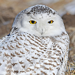 &copy; 2018 Photos by Tom Kelly IV<br /> Snowy Owl in Delco, Pa.