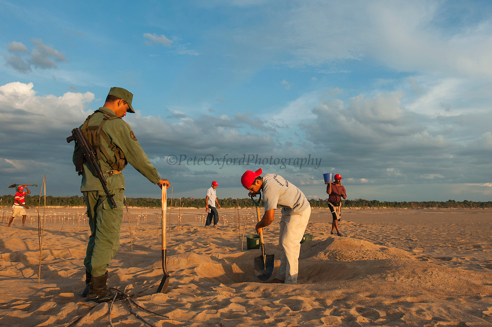 Guard (Guardia Civil) watching as local research team re-bury Giant River Turtle eggs (Podocnemis expansa)<br /> CAPTIVE-REARING PROGRAM FOR REINTRODUCTION TO THE WILD<br /> CITES II      IUCN ENDANGERED (EN)<br /> Pararuma Island. Orinoco River, 110 Km north of Puerto Ayacucho. Apure Province, VENEZUELA. South America.<br /> RANGE: Amazonia, Llanos & Orinoco of Colombia, Venezuela, Brazil, Guianas, Ecuador, Peru & Bolivia. <br /> <br /> Largest fresh water river turtle in South America. Eggs round & 42mm. 90-100 per clutch. 6-8 wks incubation.  <br /> All nests layed on low lying ground are dug up and relocated to an area not likely to flood. They are then surrounded by a net to catch all hatchlings who will then spend the first year of their life in captivity to increase their chances of survival.