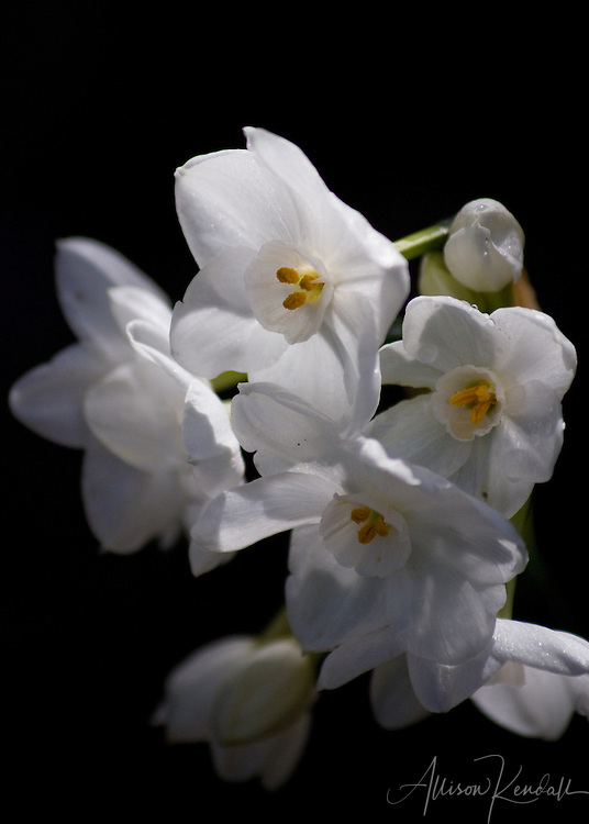 Delicate paperwhite narcisscus flowers bloom at the first hint of warmth after a cold winter.