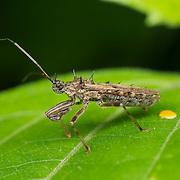 A spined Reduviidae sp. assassin bug in Chaloem Phrakiat Thai Prachan National Park, Thailand.