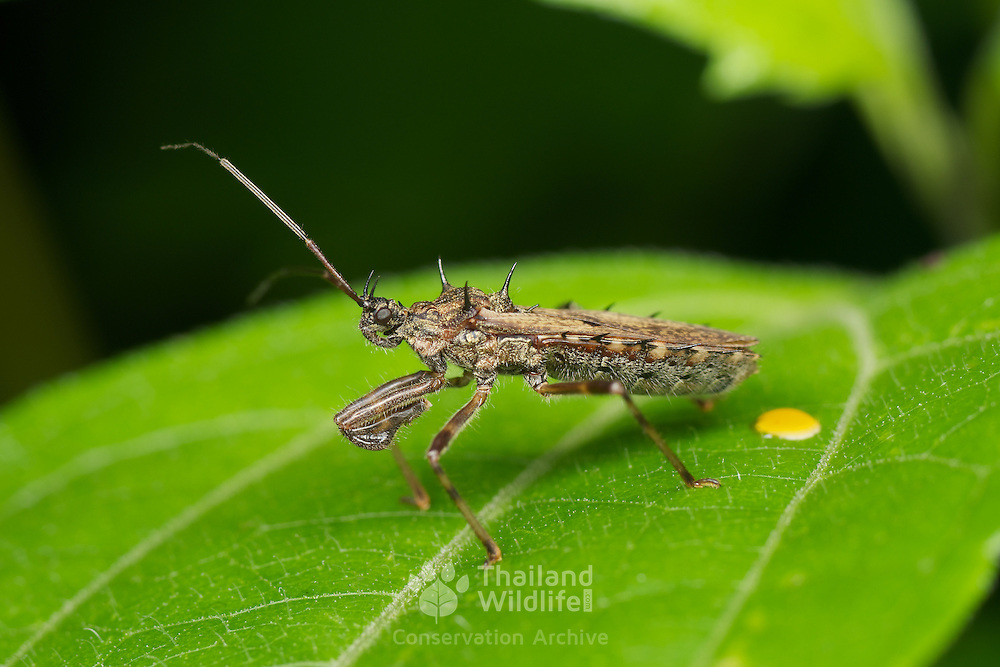 A spined Reduviidae sp. assassin bug in Chaloem Phrakiat Thai Prachan National Park, Thailand.
