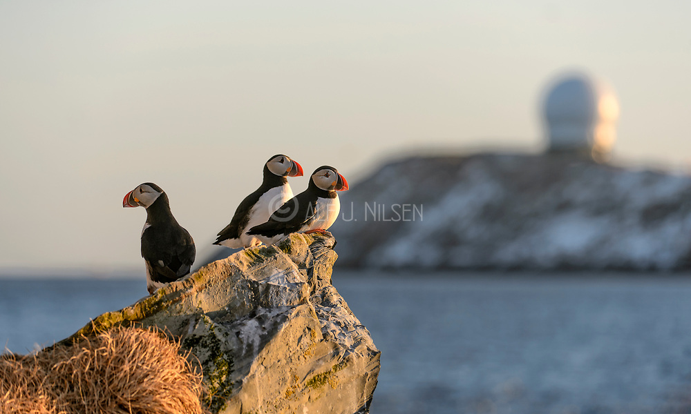 Puffins on the watch.  Hornøya off Vardø, Finnmark, Norway.
