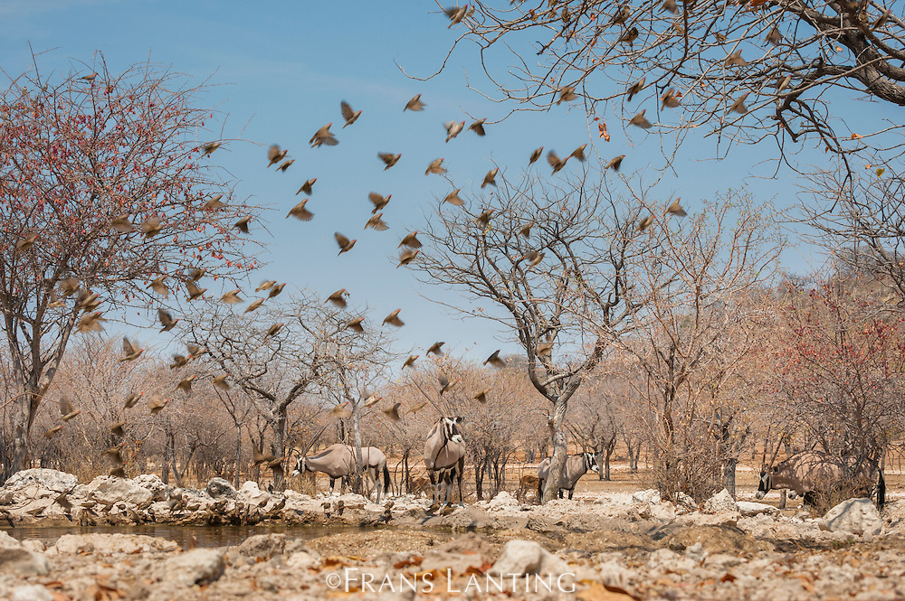 Red-billed queleas flying from waterhole, Quelea quelea, Ongava Game Reserve,  Namibia