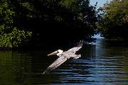 pelican ,in, flight , Fla.,estuary,flying low on water ,wings ,out .