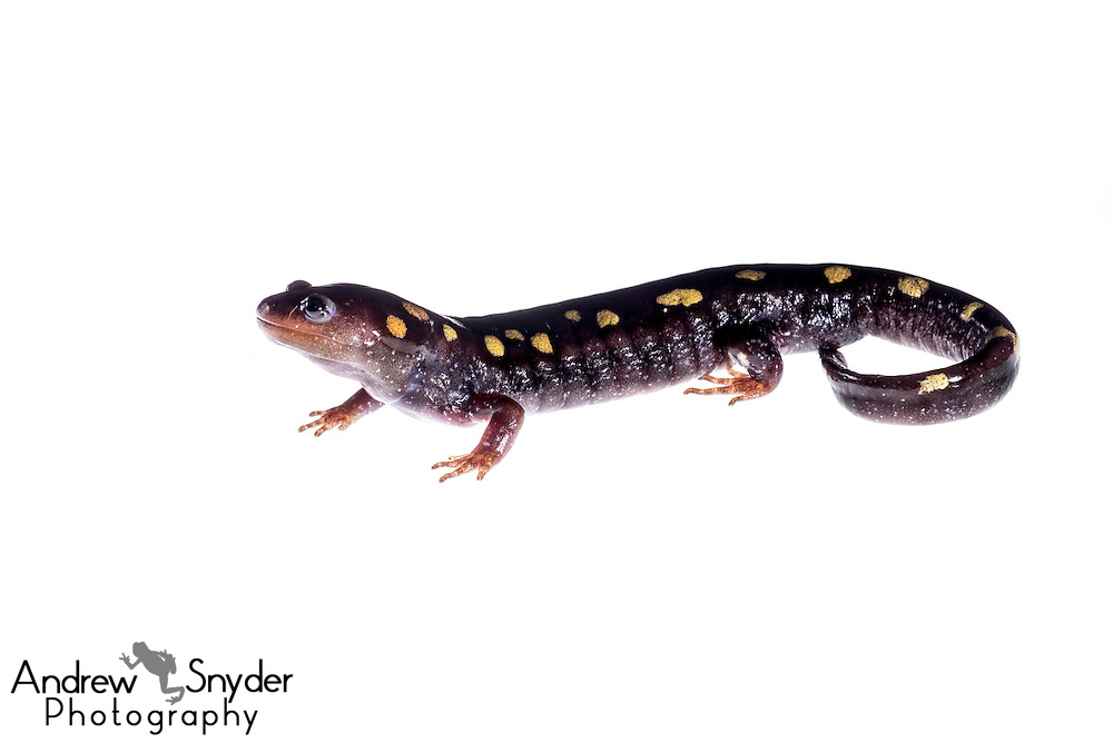 Spotted salamander (Ambystoma maculatum) - Water Valley, Mississippi