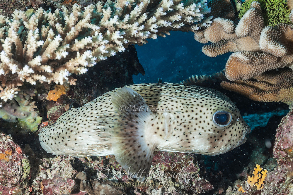 A little Pufferfish lurking among the coral. (Photo by Underwater Photographer Matt Considine)