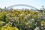 Nederland, Ubbergen, 24-7-2012Veldbloemen, ook wel onkruid genaamd, langs de oever van de rivier de waal, rijn. De pluizen zijn zaden die door de wind vervoerd worden om elders een nieuwe plant te vormen.Foto: Flip Franssen/Hollandse Hoogte