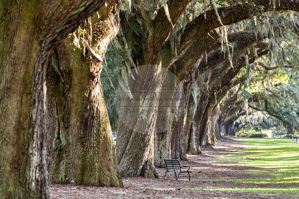 The Avenue of Oaks draped with spanish moss at Boone Hall Plantation in Mt Pleasant, South Carolina.