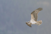 Backlit juvenile osprey in flight in Yellowstone National Park.