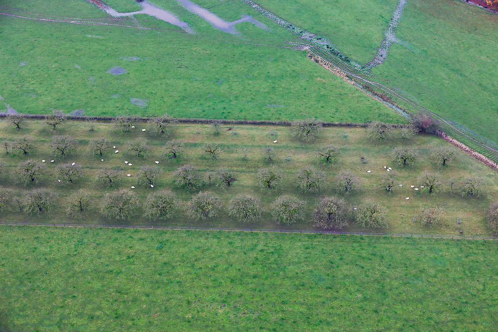 Nederland, Utrecht, Bunnik, 15-11-2010; In een winterse boomgaard graast een kudde schapen..In an orchard a flock of sheep is grazing .luchtfoto (toeslag), aerial photo (additional fee required).foto/photo Siebe Swart
