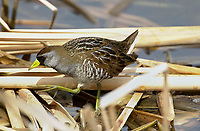 Sora (Porzana carolina), Bridlewood Wetlands, Calgary, Alberta, Canada   Photo: Peter Llewellyn
