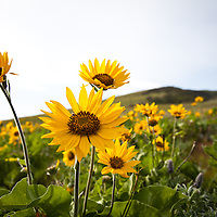 Spring Balsamroot, The Dalles Mountain Road, Dallesport, Washington