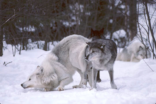 Gray Wolf, (Canis lupus) Alpha male and alpha female mating, locked in copulatory tie. Feburary. Captive Animal.