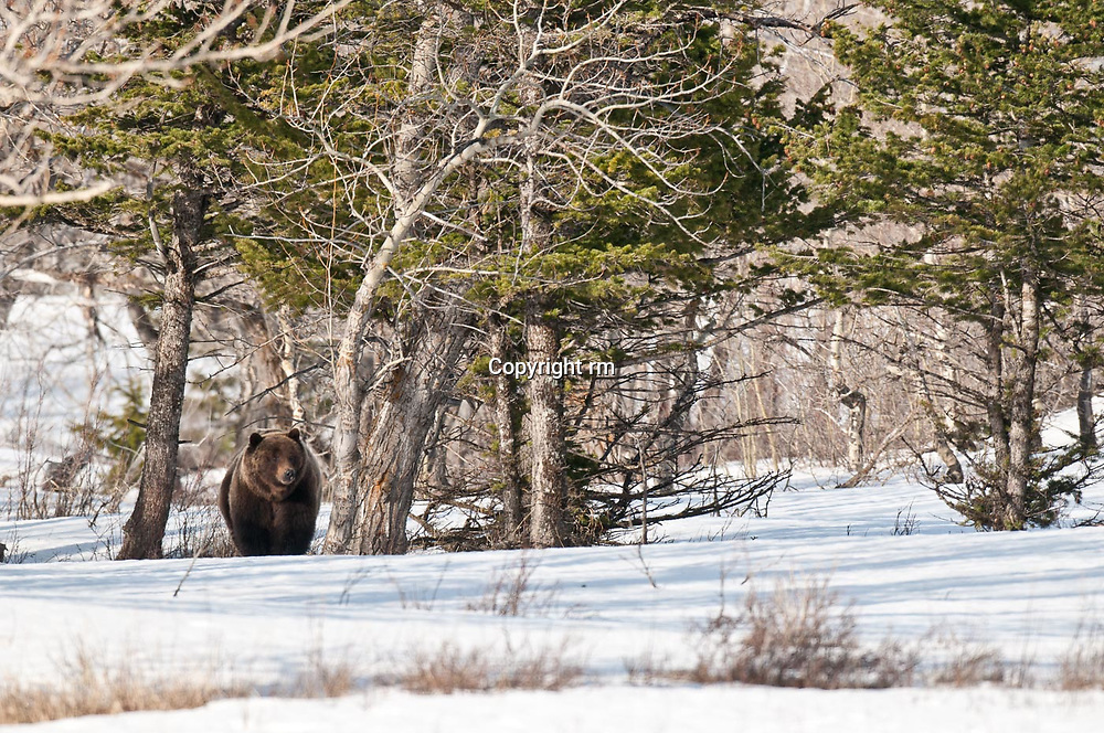 grizzly bear mature boar walking snow drift trees