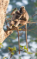 Nepal Gray Langur, Semnopithecus schistaceus, Bardiya National Park, Nepal