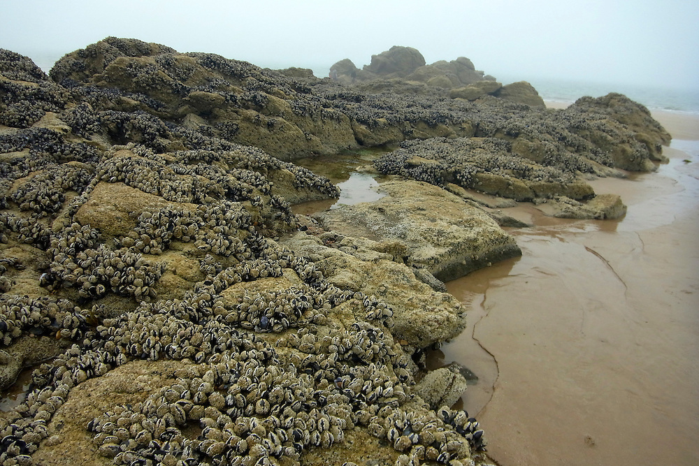 EN&gt; A bed of blue mussels on the rocks at the beach of Saint Lunaire in Brittany, France |<br /> SP&gt; Mejillones en las rocas de la playa de Saint Lunaire en Breta&ntilde;a, Francia