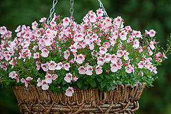 Diascia Breezee Apple Blossom - Breezee Series - in a hanging basket