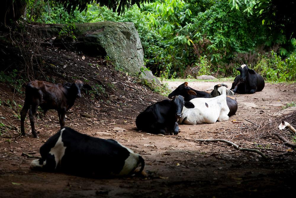 Conceicao do Castelo_ES, Brasil...Trecho da rota imperial com gado no caminho in Conceicao do Castelo...A cattle on the Imperial route in Conceicao do Castelo...Foto: LEO DRUMOND / NITRO