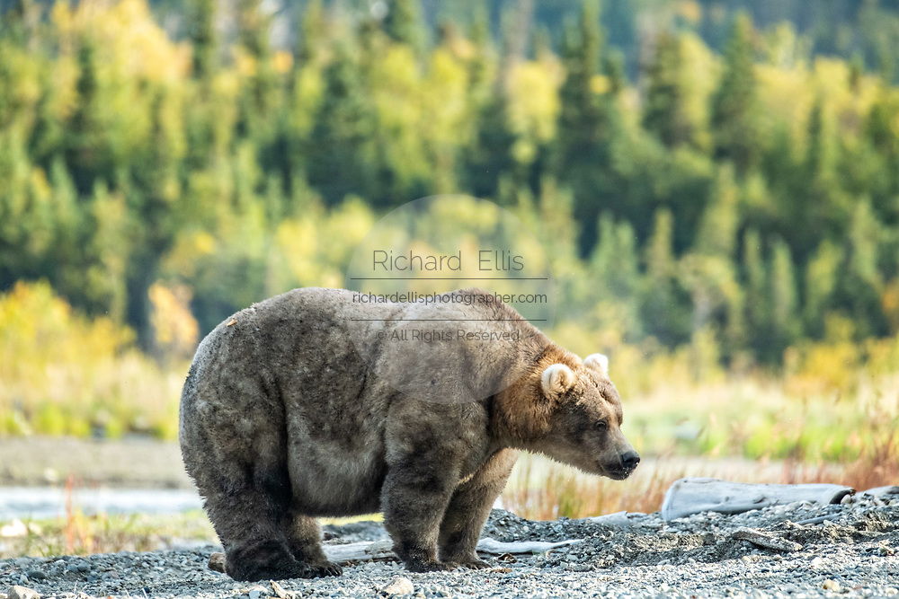 An extremely large female adult Brown Bear known as 435 Holly, walks down the beach near Brooks Camp at in Katmai National Park and Preserve September 16, 2019 near King Salmon, Alaska. The park spans the worlds largest salmon run with nearly 62 million salmon migrating through the streams which feeds some of the largest bears in the world.