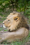 A male lion rests in the bush, Botswana. http://www.gettyimages.com/detail/photo/close-up-of-male-lion-botswana-royalty-free-image/119251841