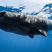 A very small female sperm whale calf (Physeter macrocephalus). This calf's family was in the immediate vicinity socializing and foraging for food, but the calf was allowed to wander off and explore by itself. It was inquisitive and approached several times, placing its fluke gently on my head at one point. Of note, the calf was approximately two meters long, which is considerably smaller than the usually assumed birth size of four meters or more for sperm whale calves.