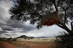 NAMIBIA SESRIEM 19APR14 - A large birds nest hangs off a tree branch along a gravel road in the Naukluft National Park, Namibia.<br /> <br /> The Namib-Naukluft, encompassing part of the Namib Desert,  is the largest game park in Africa and the fourth largest in the world.<br /> <br /> jre/Photo by Jiri Rezac<br /> <br /> &copy; Jiri Rezac 2014