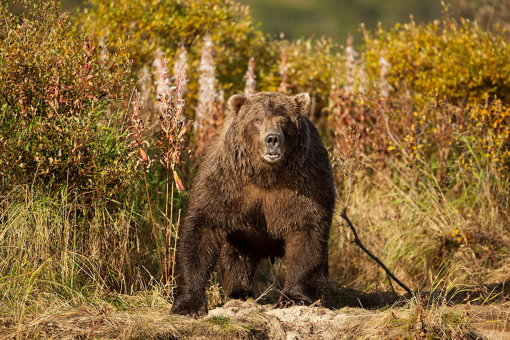 USA, Alaska, Katmai National Park, Grizzly Bear (Ursus arctos) standing alertly by spawning stream along Kinak Bay at sunset on autumn morning