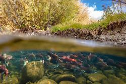 """Spawning Kokanee Salmon 2"" - Partial underwater photograph of red Kokanee Salmon spawning in a Tahoe area river."