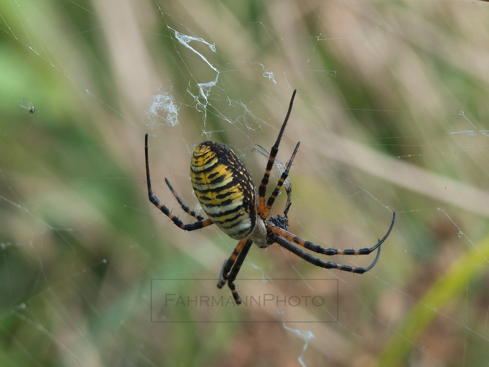 I believe this is a female Yellow & Black Argiope, AKA Garden Spider.  It tends its web near Lake Nokomis. It is a very large and tropical looking spider.