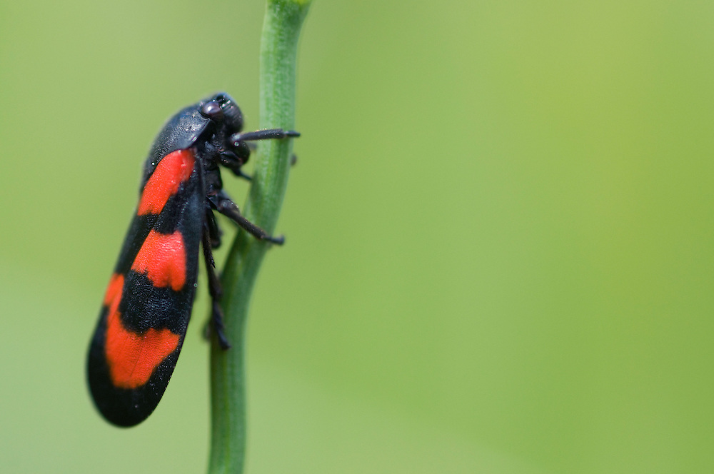 Black and red froghopper; Cercopis vulnerata, mountain area near Steg, Lichtenstein