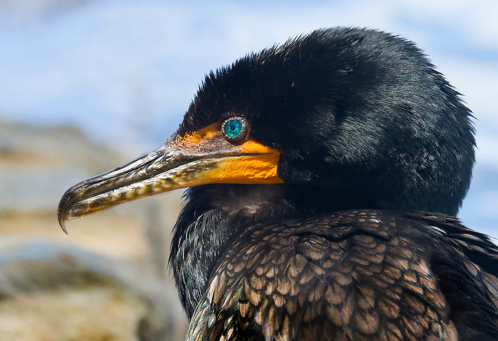 A super close up of a double crested cormorant. Love the piercing blue eyes.
