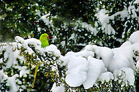 Green Parakeet, Chiswick Park, Winter 2009. Green Parakeets are common place in parks and gardens in the leafy London suburbs. Adopted as a preferred habitat by birds that are native to southern Asia. Native to India, Bangladesh, Sri Lanka and Southeast Asia, this Tropical bird seems quite at home in the Evergreens at Chiswick Park in West London. The number of wild parrots living in England is rising at an incredible rate and putting Native species at risk as they compete with native birds for food sources.