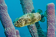 Balloonfish (Diodon holocanthus) in Stove-pipe Sponge (Aplysina archeri)<br /> BONAIRE, Netherlands Antilles, Caribbean<br /> HABITAT &amp; DISTRIBUTION: Grassy areas, mangroves and reefs.<br /> Florida, Bahamas, Caribbean, Gulf of Mexico, Bermuda north to Massachusetts and south to Brazil.