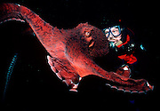 UNDERWATER MARINE LIFE EAST PACIFIC: Northeast OCTOPI: Giant Pacific octopus, with diver Octopus dofleini