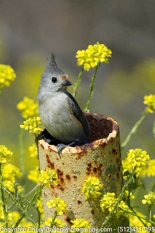 Tufted Titmouse hybrid taking a break from building her nest in this pole