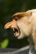 Proboscis Monkey<br /> Nasalis larvatus<br /> Dominant male showing threat display <br /> Sabah, Malaysia