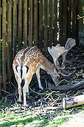 Fallow Deer buck with antlers in moat of Munot Castle, Schaffhausen, Switzerland, Europe. Fallow Deer were introduced to the moat of Munot fortress in 1905. Schaffhausen's iconic circular castle was built by forced labor in 1564 after the religious wars of the Reformation.
