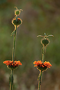 Orange flower & seedhead, backlight, Isalo National Park, Madagascar