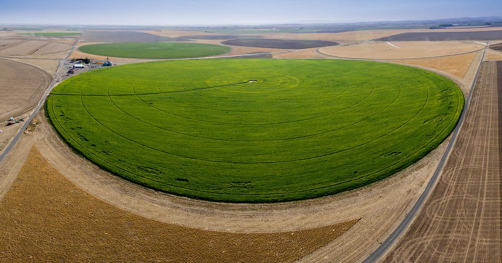Irrigated mustard cover crop on potato fields near Othello WA