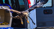 Golden Eagle Release