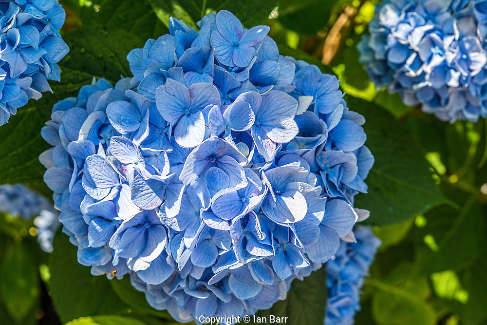 Hydrangea's on Martha's Vineyard,Massachusetts,