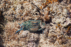 A Blue swimmer crab on Turtle Reef in Talbot Bay on the Kimberley coast.