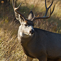 A mature Montana mule deer buck with beautiful symmetry.