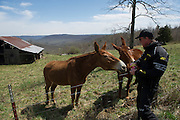 Bill feeds Nutter Butter cookies to mules along Highway 74 in north central Arkansas.