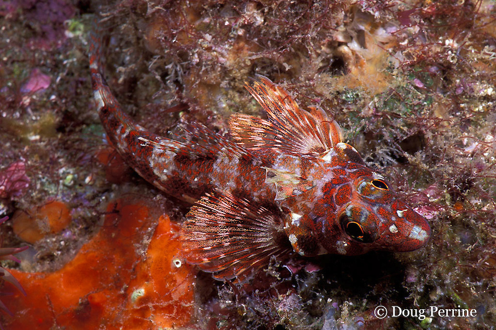 chameleon clinid or throatspotted blenny, Malacoctenus tetranemus, Galapagos Islands, Ecuador,  ( Eastern Pacific Ocean )
