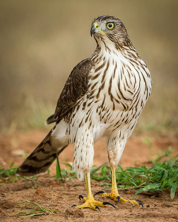 Accipiter cooperii, south Texas