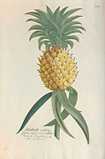 Coloured Copperplate engraving of a pineapple (Ananas) from hortus nitidissimus by Christoph Jakob Trew (Nuremberg 1750-1792)