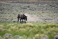 Wild mustand shaking off dirt in Wyoming sagebrush