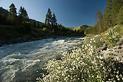 Idaho. Main Payette River along Highway 55 the Payette River Scenic Byway with Syringa flowers.